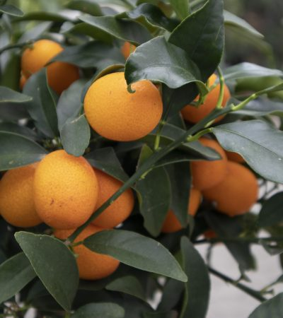 Broby_Planteskole_citrustræer.jpg
