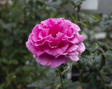 Broby_Planteskole_roser