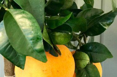 Citrustræ