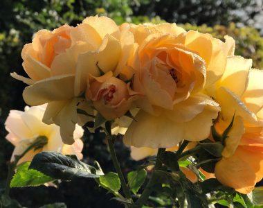 Gul rose