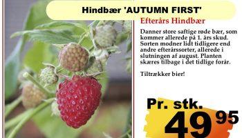 Hindbær autum first