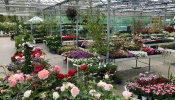 Storblomstrede roser, ferskentræer og sommerblomster til krukker