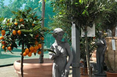 krukker med citrustræer