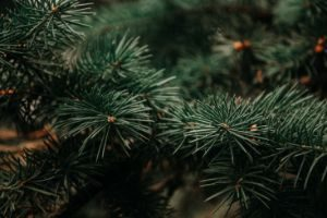 photography-of-green-pine-tree-943898 (1)