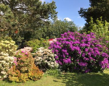 rododendronbed